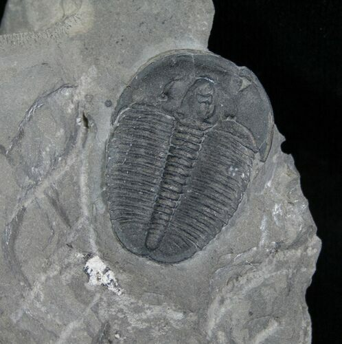 ".92"" Elrathia Trilobite In Matrix - Utah"