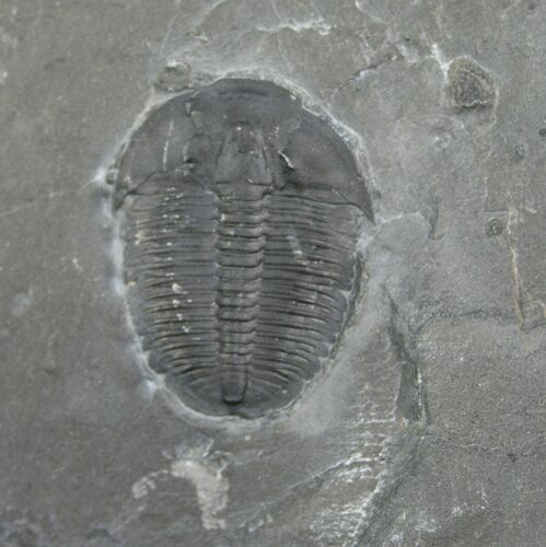 ".87"" Elrathia Trilobite In Matrix With Molt"