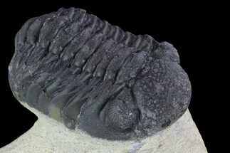 "Bargain, 2.2"" Barrandeops Trilobite - Visible Eye Facets For Sale, #92207"