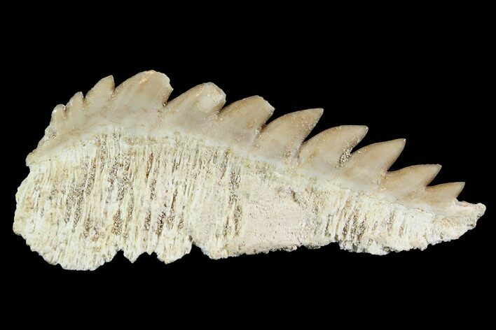 "1.7"" Fossil Cow Shark (Hexanchus) Tooth - Morocco"