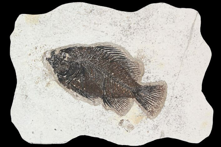 "4.95"" Cockerellites (Priscacara) Fossil Fish - Hanger Installed"
