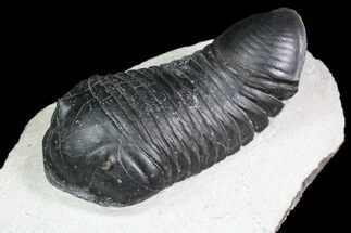"Buy 3.25"" Inflated Parahomalonotus Trilobite - Ouad Ghriss, Morocco - #92932"