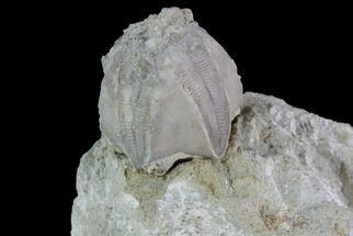 ".7"" Blastoid (Pentremites) Fossil - Illinois For Sale, #92219"