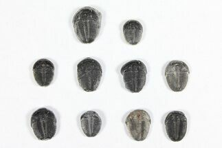 "Wholesale Lot: 1/2"" Elrathia Trilobites - 10 Pieces For Sale, #91937"