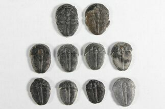 "Wholesale Lot: 3/4"" Elrathia Trilobites - 10 Pieces For Sale, #92027"