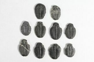 "Buy Wholesale Lot: 3/4"" Elrathia Trilobite Molt Fossils - 10 Pieces - #92047"