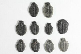 "Buy Wholesale Lot: 3/4"" Elrathia Trilobite Molt Fossils - 10 Pieces - #92056"