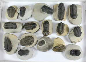 Various - Fossils For Sale - #92169