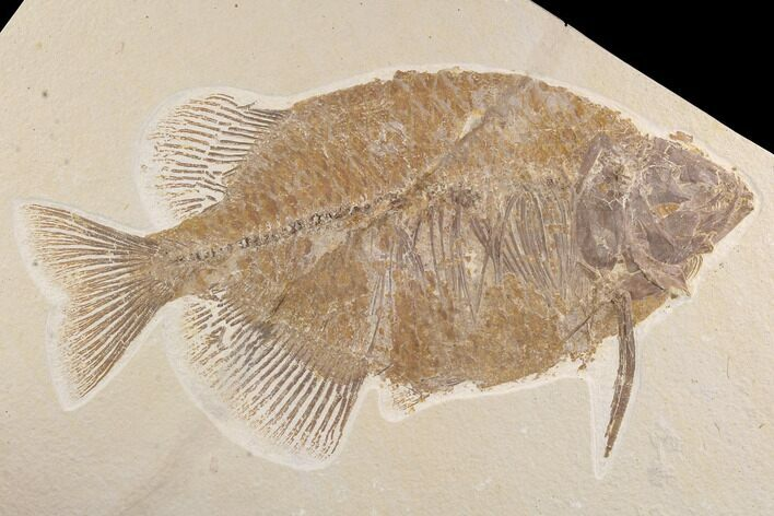 "Bargain, 12.8"" Phareodus Fish Fossil - Wyoming"
