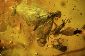 Buy Fossil Mayfly (Ephemeroptera) & Fly (Diptera) In Baltic Amber  - #93844