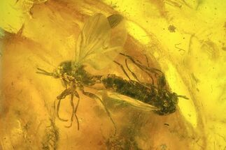 Mating Fossil Flies (Diptera) In Baltic Amber  For Sale, #93887