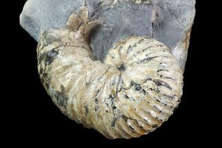 "2"" Scaphites Ammonite Fossil in Rock - Kansas For Sale, #93749"