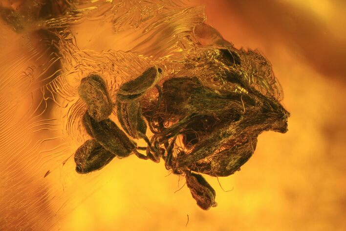 Detailed Fossil Male Oak Flower In Baltic Amber