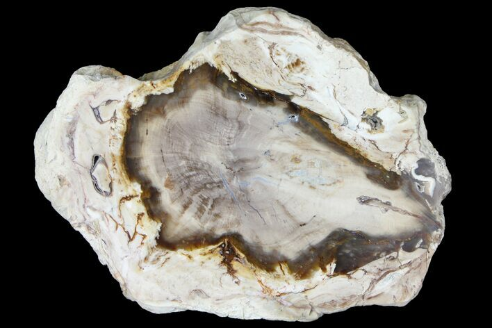 "5.8"" Petrified Wood (Bald Cypress) Slab - Saddle Mountain, WA"
