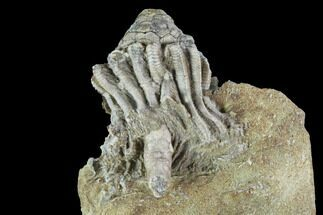 Bargain Macrocrinus Crinoid Fossil - Crawfordsville, Indiana For Sale, #94784