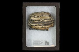 "2.3"" Mammoth Molar Slice With Case - South Carolina For Sale, #95282"