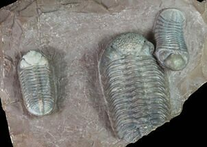 Triple Austerops Trilobite - Jorf, Morocco For Sale, #95483