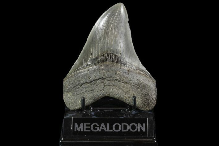 "Serrated, 4.87"" Fossil Megalodon Tooth - Georgia"