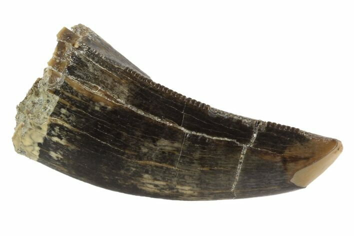 "Serrated, 1.15"" Tyrannosaur Tooth - Judith River Formation, Montana"
