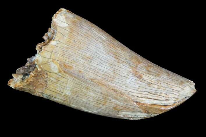 "Thick, .96"" Tyrannosaur Tooth - Judith River Formation, Montana"