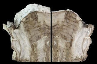 "Buy 6.4"" Petrified Wood Bookends - McDermitt, Oregon - #95971"