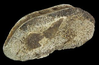 "1.6"" Hadrosaur Finger Bone - Alberta (Disposition #000028-29) For Sale, #95168"