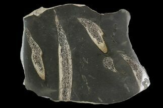 Buy Jurassic Marine Reptile Bone In Cross-Section - Whitby, England - #96343