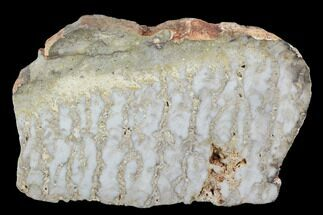 Eucapsiphora leakensis - Fossils For Sale - #96294