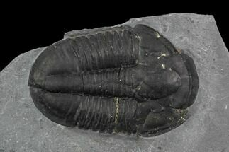 "Buy 1.82"" Asaphiscus Wheeleri Trilobite - Utah - #97177"