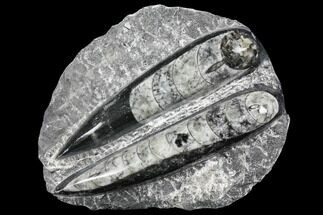 Polished Orthoceras (Cephalopod) Fossils - Morocco For Sale, #96632