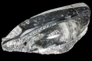 Arionoceratid Nautiloid - Fossils For Sale - #96609