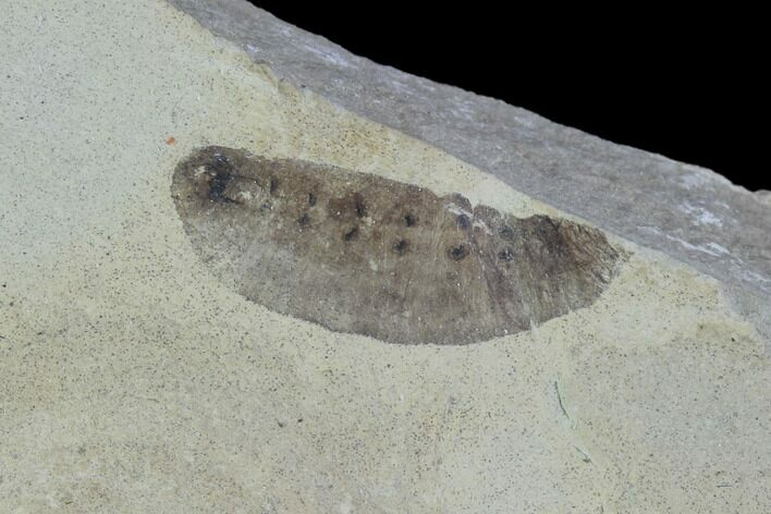 ".61"" Fossil Insect Larva - Green River Formation, Utah"