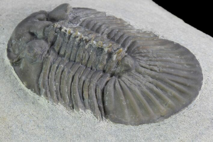 "1.8"" Scabriscutellum Trilobite - Tiny Axial Spines"
