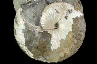 "2.4"" Hoploscaphites Ammonite Specimen - South Dakota For Sale, #98705"