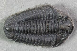 "Buy 1.4"" Calymene Niagarensis Trilobite - New York - #99016"