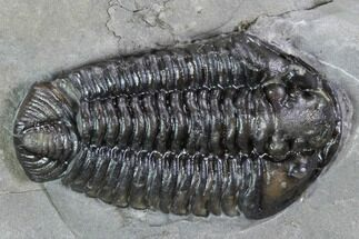 "1.1"" Calymene Niagarensis Trilobite & Brachiopods - New York For Sale, #99017"
