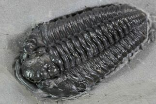 "1.2"" Calymene Niagarensis Trilobite - New York For Sale, #99038"