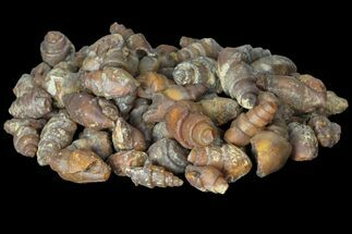 Wholesale: Agatized Fossil Gastropods - 100 Pieces For Sale, #99242