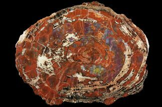 "Buy 19.1"" Colorful Petrified Wood (Araucarioxylon) Slab - Arizona  - #99274"