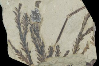 Metasequoia occidentalis - Fossils For Sale - #99276