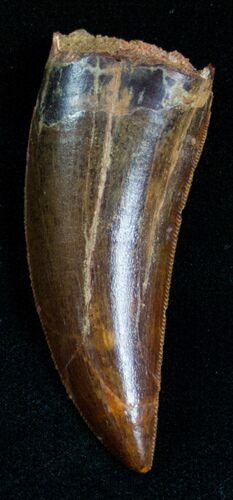 Superb Quality Carcharodontosaurus Tooth - 2.01""