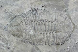 Dalmanites limulurus - Fossils For Sale - #99063
