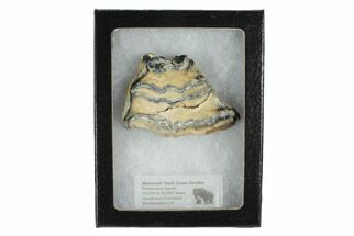 "2.4"" Mammoth Molar Slice With Case - South Carolina For Sale, #99524"