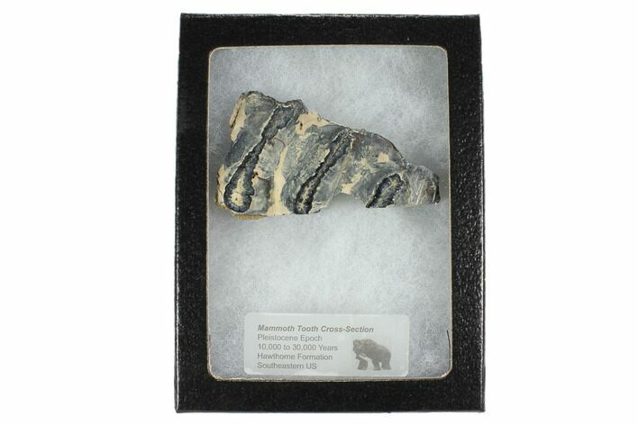 "2.5"" Mammoth Molar Slice With Case - South Carolina"