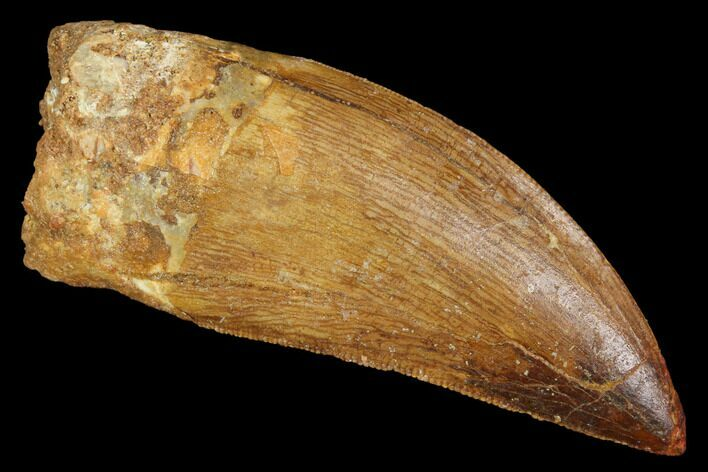 "Serrated, 2.2"" Carcharodontosaurus Tooth - Robust Tooth"