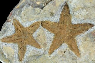 Buy Two Ordovician Fossil Starfish (Petraster) - Morocco - #100081