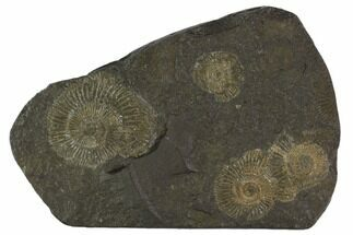 "4.7"" Dactylioceras Ammonite Cluster - Posidonia Shale, Germany For Sale, #100256"