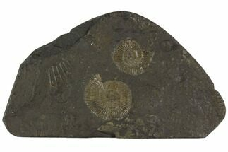 "5.3"" Dactylioceras Ammonite Cluster - Posidonia Shale, Germany For Sale, #100265"