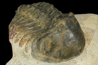 Struveaspis bignoni - Fossils For Sale - #100389