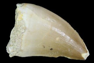 "1.2"" Mosasaur (Prognathodon) Tooth - Morocco For Sale, #101033"